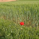 Lone Poppy by jcjimages