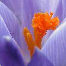Purple Crocus by Sara Wiggins