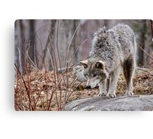 Timber Wolf on Rocks Canvas Print