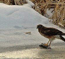 A Hawk's Winter Feeding by loriclint