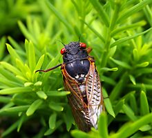 Magic Cicada by rdshaw