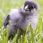 Chick in Grass by loriclint