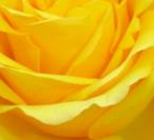 Beautiful Yellow Rose Closeup  Sticker