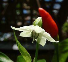 Flower and African Bird Pepper by Cayobo