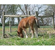Baby Draft Horse Photographic Print