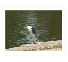 Waterbird Resting Art Print