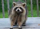 Raccoon Face Off by Martha Medford
