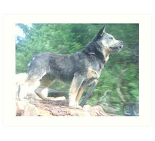 Blue Heeler AWAY! Art Print