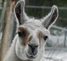 Llama by Martha Medford