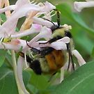Bee on Honeysuckle by Martha Medford