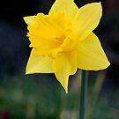 Pretty Yellow Daffodil by Kimberly Johnson