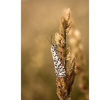 Crimson Speckled Footman or Flunkey (Utetheisa Pulchella)  Photographic Print
