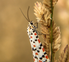 Crimson Speckled Footman or Flunkey (Utetheisa Pulchella)  Sticker