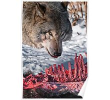 Timber Wolf with Carcass Poster