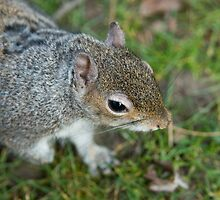 Grey Squirrel by Alistair Balharrie
