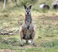 Wallaby by Christopher Meder
