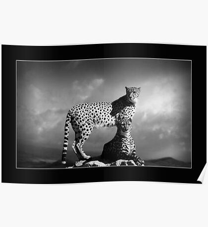 Cheetahs B&W Poster