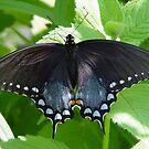 Spicebush Swallowtail by Anne Smyth