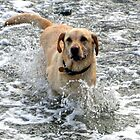 Labs Love Water............ by lynn carter