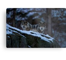 Timber Wolves In Late Evening. Metal Print