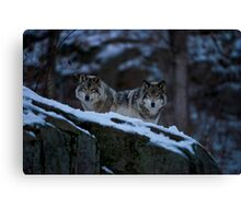 Timber Wolves In Late Evening. Canvas Print