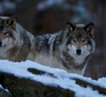Timber Wolves In Late Evening. Sticker