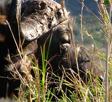buffalo by Norman Tedder