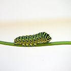 Green Caterpillar by rdshaw
