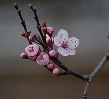 Cherry Blossom by orchiddesign