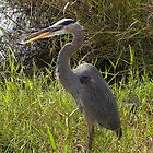 Great Blue Heron by katyas1983