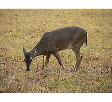 Single Deer Photographic Print