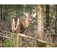 One Antler Buck Photographic Print