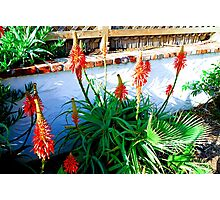 Aloe in Bloom Photographic Print