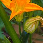 Zucchini - its flower and fruit by indiafrank