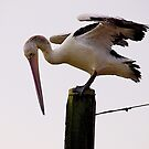 Difficult landing. Pelican. Tooradin, Australia. by johnrf