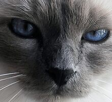 The blue eyed cat by Liv Stockley
