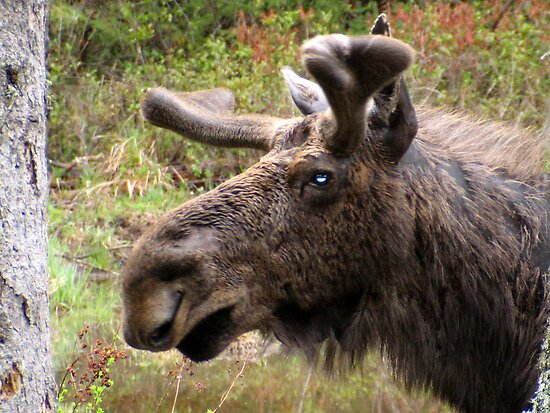 Moose up close by lloydsjourney