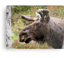 Moose up close Metal Print