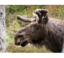 Moose up close Photographic Print
