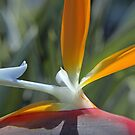 Bird Of Paradise by Derek Kentwell