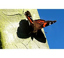 My Shadow! - Red Admiral Butterfly - NZ Photographic Print