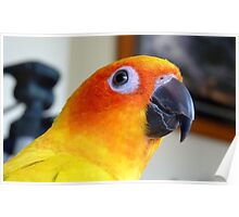 Smile Sunshine! - Sun Conure - NZ Poster