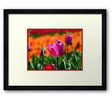 A Little Pink to add more Colour! - Tulip Plantation - NZ Framed Print