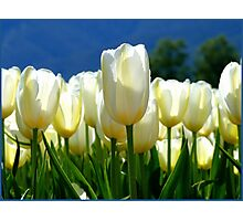 Standing Taller Than The Rest! - White Tulip Plantation - NZ Photographic Print