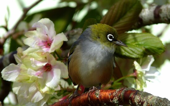 Oh dear! I think Iv'e been left at the Alter! - Silvereye - NZ by AndreaEL