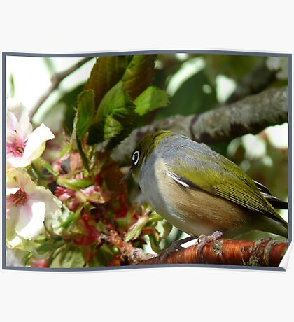 I think my Bride May Be On Her Way! - October - Silvereye - NZ ** Poster