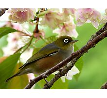 Here Comes The Bride! - Silvereye - NZ Photographic Print