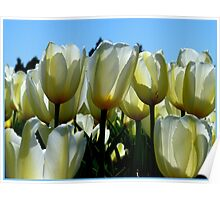 Reaching For The Blue Sky! - White Tulips - NZ Poster