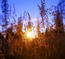 Sunset Grasses by DanielRegner
