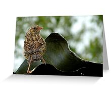 I'm  Out The Nest, Where Is Everyone! - Baby Dunnock Hedge Sparrow Greeting Card